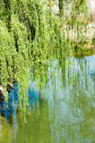 Willow over water Royalty Free Stock Image