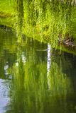 Willow over the water. A weeping willow hung over the surface of the water Royalty Free Stock Photography