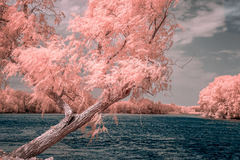 Willow Overlooking Bank of Mississippi River in Color Infrared Royalty Free Stock Photography