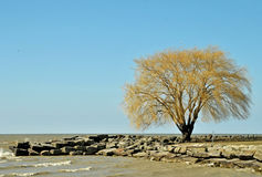 Willow on the point. Image of a willow tree on at the lake Stock Photos