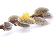 Willow pollen stock image