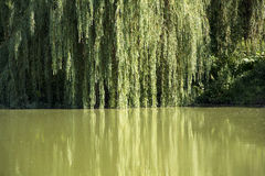 Willow by the pond. Stock Image