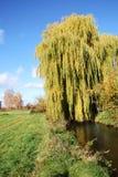 willow potoki łez Obrazy Royalty Free