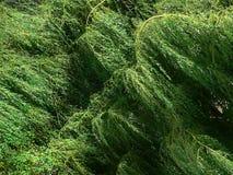 willow potoki łez ulistnienia Zdjęcie Royalty Free