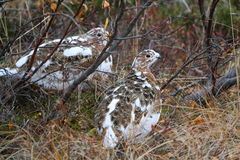 Willow Ptarmigan Stock Image