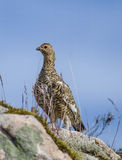 Willow Ptarmigan Stock Images