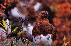 Willow Ptarmigan Royalty Free Stock Photos