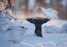 Willow Ptarmigan At Bird Feeder en hiver image stock