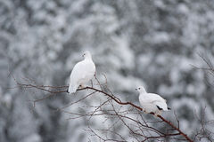 Willow ptarmigan. A couple of Willow ptarmigan perched on a small tree branch in James Bay Quebec, Canada in November of 2016 stock photography