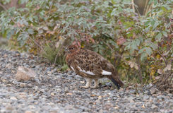 Willow Ptarmigan Royalty Free Stock Images