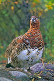 Willow Ptarmigan. In fall plumage standing in tundra Stock Photo