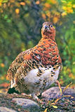 Willow Ptarmigan. In fall plumage standing in tundra Stock Photography