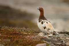 Willow Ptarmigan - lagopus de Lagopus Images stock