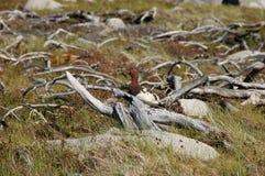 The willow ptarmigan Lagopus lagopus stock photos