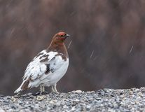 Willow Ptarmigan Male royalty free stock images