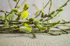 Willow, pussy-willow, branch, fluffy, white, bud Stock Photography