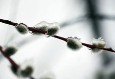 Willow in raindrops stock photo