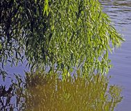 Willow reflected in water royalty free stock image