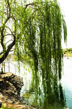 Willow reflected in water Stock Images