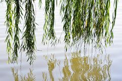 Willow reflection in the water stock images