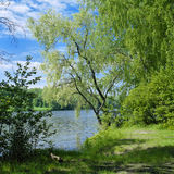 Willow on the river stock photography