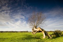 Willow, by the river Stour. Bent willow tree at Flatford Royalty Free Stock Photography