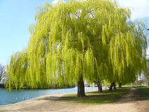 Willow by the river in sunshine. Willow tree on a path by  a river with sunshine and bright greenery in springtime Royalty Free Stock Images
