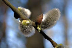 Willow rods 2. Blooming willow kidney - a symbol of spring Stock Images