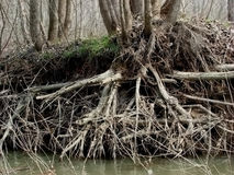 Willow roots. In early spring when the waters of the river are increased. Old willows bathe their roots still strong stock photography