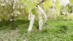 Willow Saille Tree Catkins blanche au printemps 3 photo libre de droits