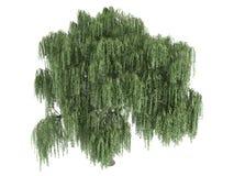 Willow_ (Salix) Royalty-vrije Stock Foto's