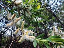 Free Willow Salix Alba Royalty Free Stock Photo - 90830635