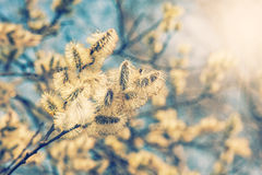 Willow (Salix caprea) branches with buds. Blossoming in early spring Royalty Free Stock Photography