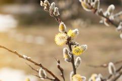 Willow Salix-capreatakken met knoppen die in de vroege lente tot bloei komen stock foto