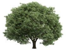 Willow_ (Salix_fragilis) Stock Foto's