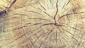 Willow saw-cut close up. royalty free stock photography