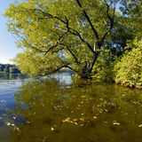 Willow at the shallow water in autumn Royalty Free Stock Photos