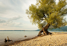 Willow at the shore of lake Bodensee. Willow at the shore of lake Bodensee with roots in the air Stock Photo