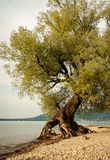 Willow at the shore of lake Bodensee Stock Images