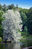 Willow silvery over the lake (Salix alba) Royalty Free Stock Photos