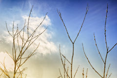 Willow on the sky background Royalty Free Stock Photos