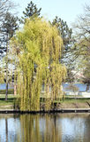 Willow - RAW format Stock Images