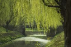 Willow by the spring water stock photography
