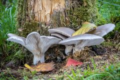 Willow stem with edible oyster mushroom stock photography