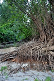 Willow strong roots. Lower Danube protected areas, canals, islands, forests with tree species of meadow, meadow vegetation, wildlife, people with their lives stock photo