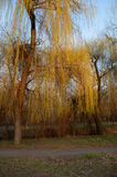 Willow in the sun. Against a blue spring sky stock images