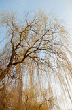 Willow in the sun. Against a blue spring sky royalty free stock image
