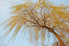 Willow in the sun. Against a blue spring sky stock photos