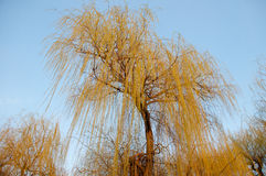 Willow in the sun. Against a blue spring sky stock photography