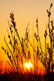 Willow on the sunset background Stock Photography